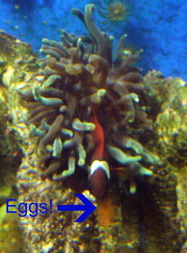 Tomato clownfish with anemone and eggs