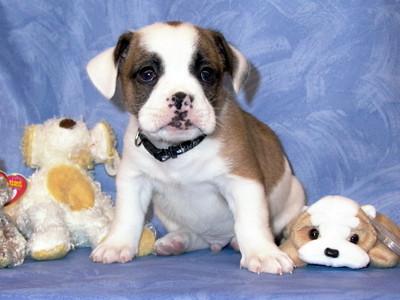 bull-shitz puppy