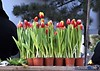 Lalele, lalele frumoasele mele lalele... (Betuel H.) Tags: flowers romania tulip shake tulpe tulipano excellence lalele flori yougotit kodakz740 suceava plus4 plus4excellence invitedphotosonlyplus4 ©allrightsreservedusewithoutpermissionisillegal hreniucbetuel