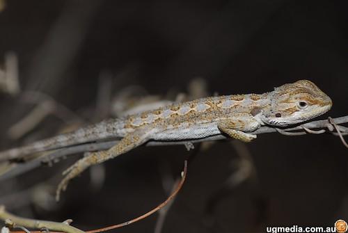Western bearded dragon (Pogona minor)