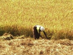 Fields of gold... harvest  (spisharam) Tags: india beautiful nikon kerala coolpix 2008 keralam nikone4800 spisharam