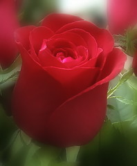 A rose to ..... Moana, in appreciation for the world\'s most beautiful testimonial