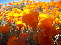 Golden Poppies (Megan Meets World) Tags: california flowers yellow golden poppy