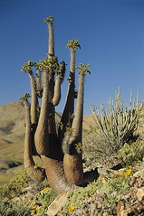 Northern Cape Plantlife - South Africa (South African Tourism) Tags: africa plant southafrica vegetation cape northern indigienous southafricantourism