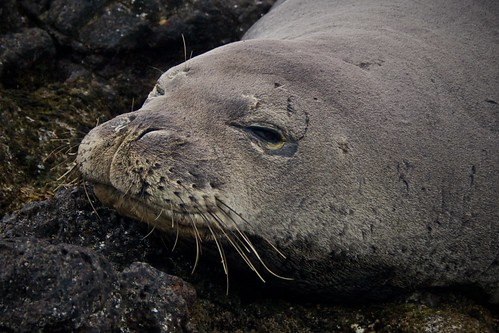 Hawaiian Monk Seal, Kaena Point, Ohau, Hawaii