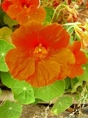 orange nasturtiums (TartanHearts) Tags: orange tropaeolum nasturtium nasturtiums majus tropaeolummajus