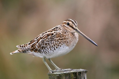 Snipe on Post   27.4.08