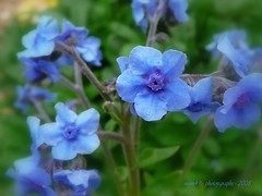 for-get-me-not... (mum49) Tags: blue pretty forgetmenot mygarden perennial lovetheblue excapture 4mazingorgeoushotsoflowers ahqmacro