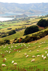 Akaroa Harbour (geoftheref) Tags: new our newzealand christchurch cloud white green nova grass la interestingness interesting long flickr sheep harbour farm space farming zeeland canterbury zealand nz land kiwi peninsula baa aotearoa nueva nouvelle banks zelanda neuseeland zelandia nuova akaroa paddock nieuw zelndia  zlande canterburynz  ourspace geoftheref onawe   ourspacenz absolutelystunningscapes