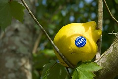 quince in tree