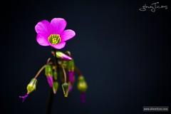 Flores de trébol (ETicas) Tags: pink wallpaper naturaleza black flower macro green nature canon eos rebel xt photo purple flor tiny fotografia clover shamrock pequeña gómez purpleshamrock eticas elmerticas