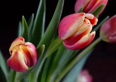Tulips (rustyruth1959) Tags: nikon nikond3200 tamron16300mm indoor home ripponden yorkshire flower bloom tulip tulipa plant leaf yellow blackbackground spring green petals flowerhead
