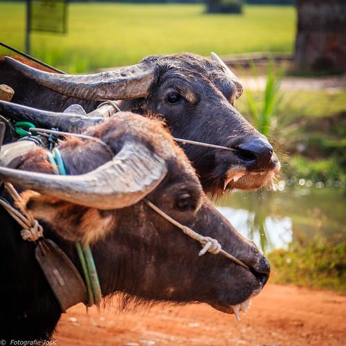 157 Cambodja,  Seam Riep Province, Puok,Water buffalo