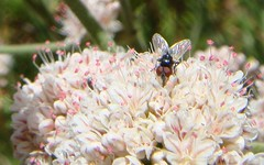 Fly on Buckwheat (flygrl67) Tags: nature animal critter wildlife distraction trailside trailsidedistraction