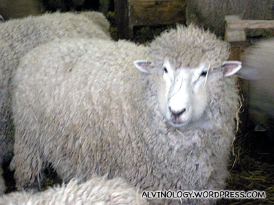 Close-up of a sheep
