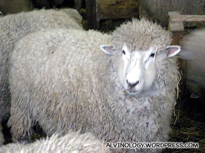 Close-up of a sheep