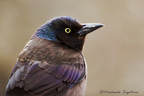 common grackle female. Common Grackle (female)