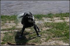 Shiva (3) (Tom Berger LBF) Tags: dog water up tom t close hund doggy shiva elbe berger tberger