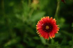 Flower (Saleh Mohammed) Tags: mohammed saleh