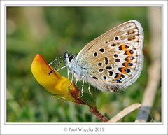 Silver-studded Blue Butterfly (Paul_Wheeler) Tags: uk blue nature closeup butterfly cornwall britain wildlife british sliver argus studded birdsfoottrefoil plebeius topshots natureselegantshots