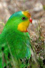 SUPERB PARROT  Polytelis swainsonii (beeater) Tags: nsw parrots boorowa frogmore australianparrots superbparrot polytelisswainsonii nativeaustralianbirds birdsoftheact veryspecialbirds