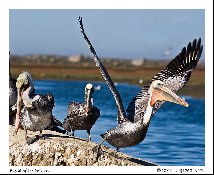 Flight of the Pelican