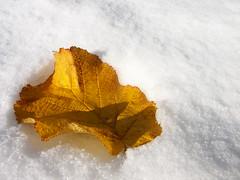 lonely leave (eyeflyer) Tags: schnee winter fall explore linda naturesfinest welltaken herbstblatt trimbach diamondclassphotographer flickrdiamond eyeflyer