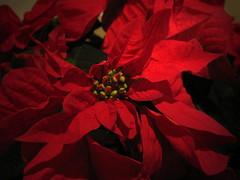 A Christmas Poinsetta (Sandy's Candy) Tags: christmas plant poinsetta naturesfinest supershot merrychristmasandahappynewyear mywinners abigfave platinumphoto theperfectphotographer flowersmacroworld life~asiseeit