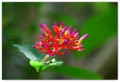 Quinta-psicodlica-flower (*Tuvy*) Tags: pink flower jj dof bokeh flor itatiba zooparqueitatiba tuvy rosachoque duetos