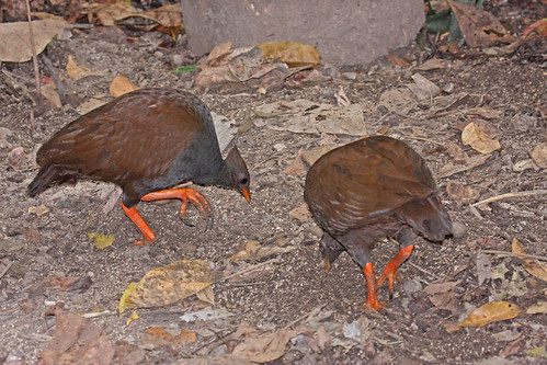 IMG_6274 Orange-footed Scrubfowl (Megapodius reinwardt) by ajmatthehiddenhouse.
