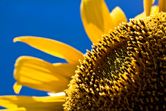 Grandson of Stumpy (norbography) Tags: blue sky macro yellow petals sunflower vote toddnorbury onzfave