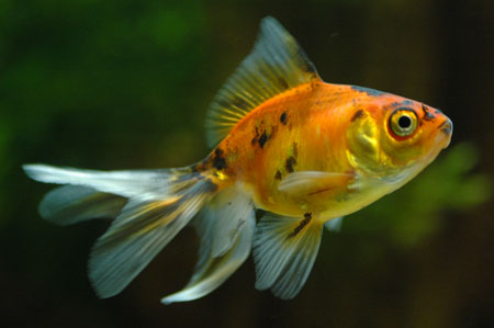 goldfish_01.jpg
