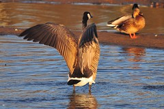 Canada goose ( Branta canadensis ) (jeslu) Tags: lake bc burnaby canadagoose brantacanadensis