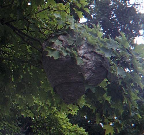 Big Hornets Nest