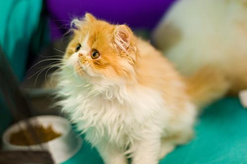 kucing Parsi gemuk