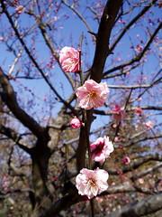 #953 Japanese apricot, pink (紅梅) (Nemo's great uncle) Tags: flower tokyo flora 東京 花 ume prunus 梅 japaneseapricot kinutapark 砧公園 世田谷区 setagayaku tōkyō 紅梅 サクラ属
