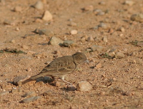 ashy-crowned sparrow-lark female with her eyes closed tghalli 020308