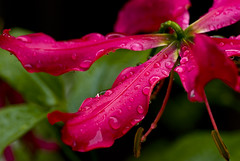 Raindrops (Nikonsnapper) Tags: flowers red storm wet rain waterdrops nikond80 australia2008 project3662008march nikonsnapper