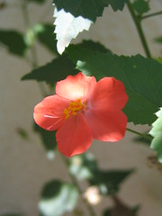 Pune 063 (klem1779) Tags: flowers summer home fullbloom