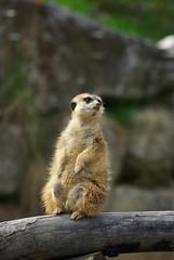 Erdmnnchen (magicwise) Tags: zoo tiere frankfurt taunus tier opelzoo erdmnnchen knigstein kronberg