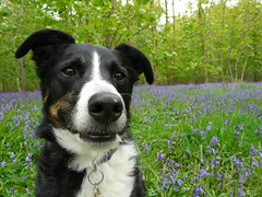 Tess in the Bluebells (skoop102) Tags: wood flowers blue trees dog flower tree dogs bluebells woodland nose woods collie bell brandon trust tess coventry bluebell warwickshire tessie crossbreed colliecross woodlandtrust binleywoods brandonwood pilescoppice