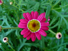 argyranthemum (itsmejdc) Tags: pink flowers light red orange brown white black flower green grass leaves yellow outside 1 us petals cool day all purple zoom blossom michigan round buds yello albion uas xpress youmademyday argyranthemum allxpressus