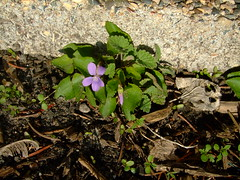 Clinging To Life (Roofer 1) Tags: garden searchthebest wildflower viola firstofspring supershot golddragon mywinners abigfave anawesomeshot goldstaraward