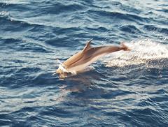 Delfines-en-Grecia (Aproache2012) Tags: cicladas peloponeso grecia flotilla mediterráneo navegar vacaciones disfrutar mar embarcación velero