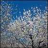 Como la flor del cerezo (Pilar Azaña Talán ) Tags: españa cáceres valledeljerte cerezosenflor mywinners abigfave 100commentgroup pilarazaña