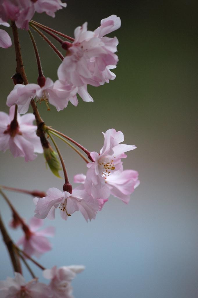 Sakura 2010 #28