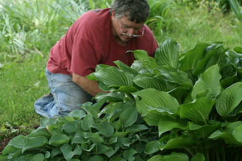 mulching the hostas