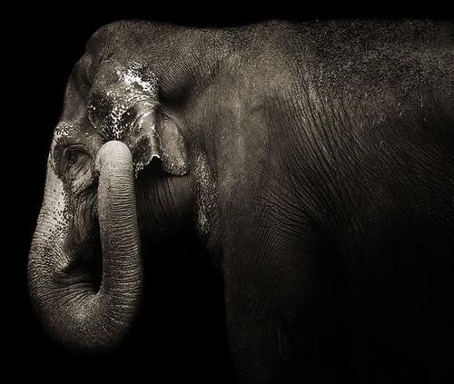 Elephas maximus by zeissizm
