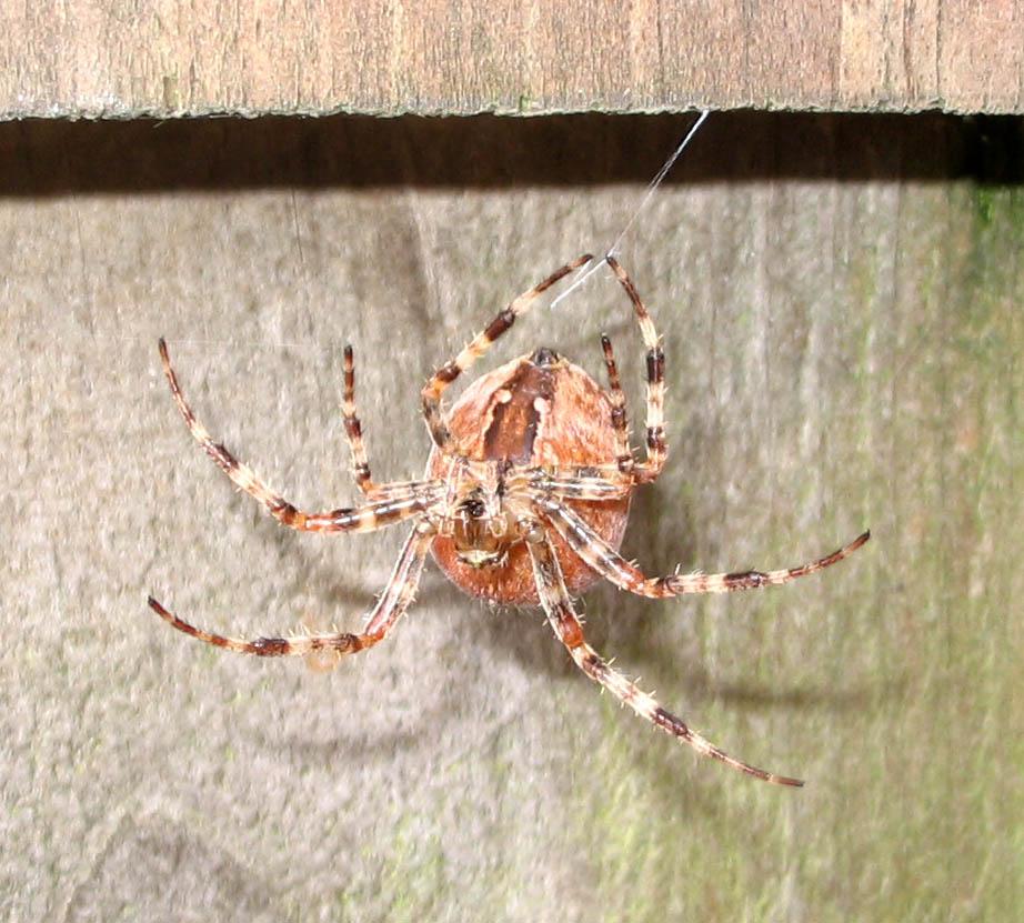 Pumpkin spider.10.15.07