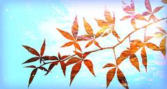 California dreamin'... (the kelp knot) Tags: plant fall texture leaves flora vine vitaceae virginiacreeper parthenocissus parthenocissusquinquefolia courtnayjaniak